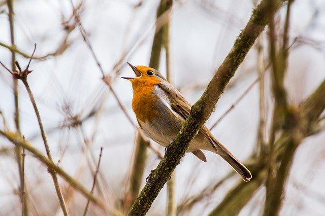 śpiew ptaków do usypiania dzieci