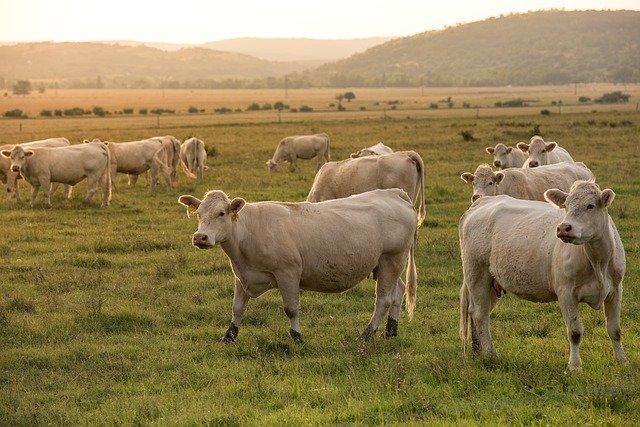 odgłosy zwierząt hodowlanych do usypiania